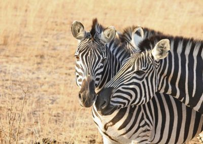 zimbabwe-game-drive-04