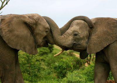 AP Elephants (1)