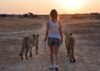 AP Lion Walk (2)