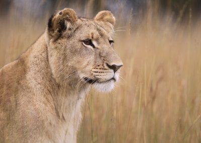 Lion Enclousre 2