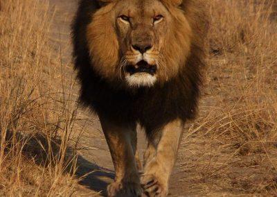 Lion Enclousre 3