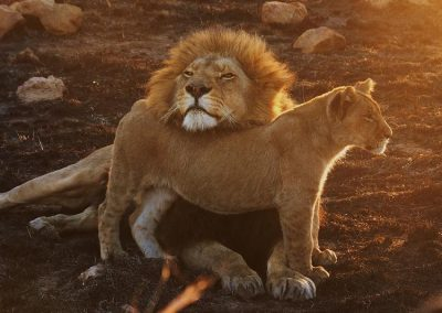 Lion Enclousre 4