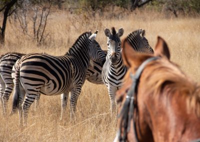 Antelope Park Horse Volunteer 4