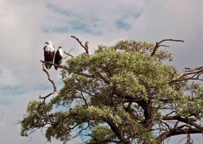Fish eagles