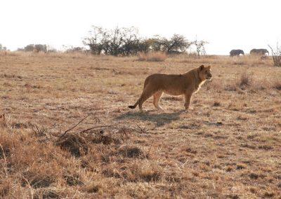 Horse & Lion Volunteering Antelope Park 1