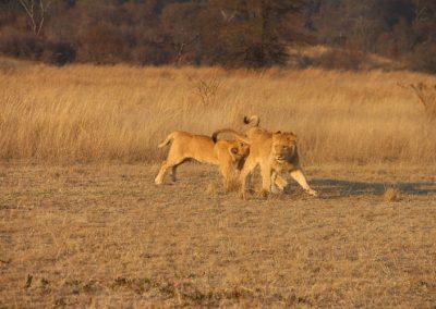 Horse & Lion Volunteering Antelope Park 2