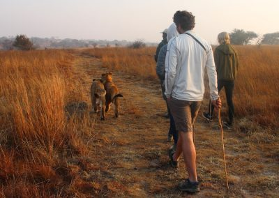 Horse & Lion Volunteering Antelope Park 3