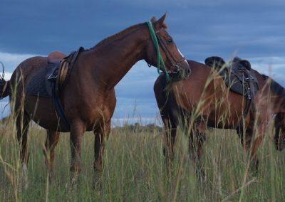 Horse & Lion Volunteering Antelope Park 5
