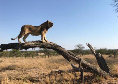 Teaching Lions Antelope Park 1