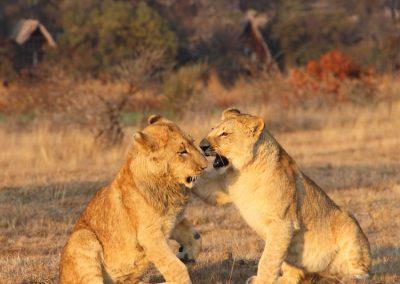 Teaching Lions Antelope Park 3