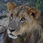 Lion Enclousure Tour