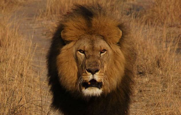 Off spring of lions to have no human interaction: Phase 2 of lion conservation efforts
