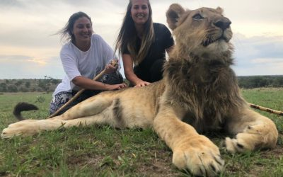 Lion walks have now stopped at Antelope Park